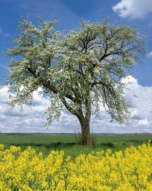 Baum- und Rapsblüte (c) Robert Schneider - Fotolia.com